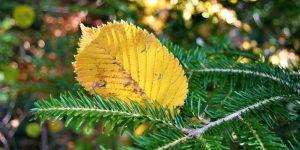 Dzeltena rudens lapa zaļā egles zarā