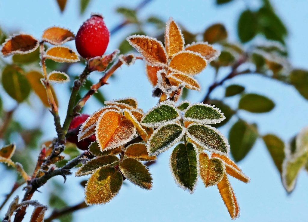 Apsarmojušas rožu lapas rudenī