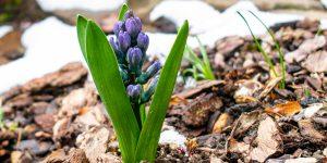 Ar šķeldu noklāta augsne dārzā, kurā aug zila hiacinte